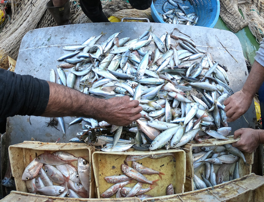 Commercial fisheries with optimized sampling strategies